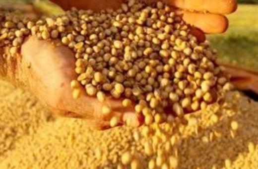 Soybean GMO & NON GMO