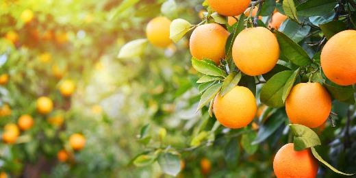 Navel Oranges, Fresh Juicy Oranges