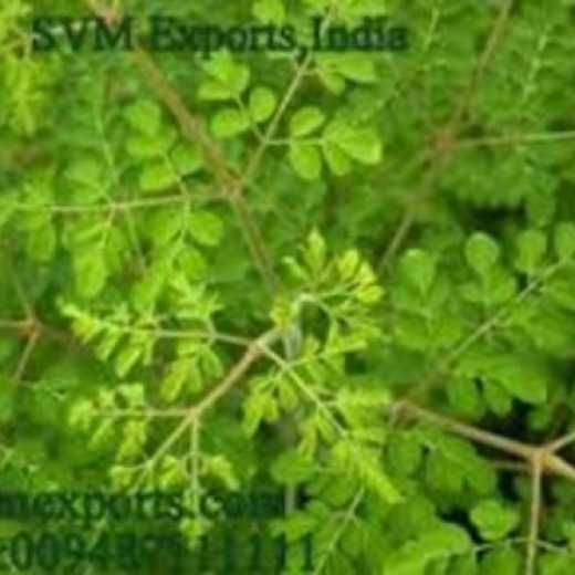 Best Quality Moringa Tea Cut Leaf Exporters From SVM Exports