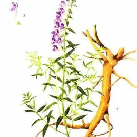 Scutellaria Extract